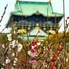 大阪城の梅、多分、咲いている。
