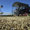 世界最大のコーヒー生産国ブラジルで干ばつが深刻化、新規販売契約を停止