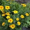 花は楽に育てて楽しみましょう⑤《真夏編》 照りつける太陽の下でも綺麗に咲きます。 暑い夏に旅立った花が大好きだった友へ。
