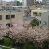 【新宿】ベランダから八重桜。