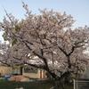 【出来事】総合運動場の桜を観て