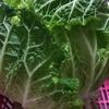 【家庭菜園】白菜の難しさ