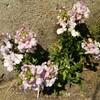 白いお花が急に咲いていてビックリ!