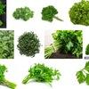 パセリ1 パセリとイタリアンパセリは同種ですが--- 日本でパセリと言えば縮れた葉っぱのCurly parsley.米英のレストランでparsleyと言えば,平たい葉っぱ,即ちイタリアンパセリが一般的らしい.でもアメリカの家庭料理では:Curly parsley is king. だそうです.しかし,和名オランダ芹と聞いて,パセリを思い浮かべる人はどれぐらいいるのでしょうか?