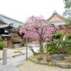 法住寺のしだれ桜とツバキ。見頃や開花状況。
