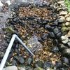 スーパーサイフォンでカメトープの池の水、ぜんぶ抜く⁉