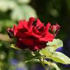 不気味な薔薇?