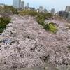 桜と鯛茶漬け