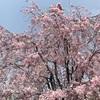 桜吹雪と気持ち