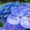 キヤノンのミラーレス一眼用レンズ「EF-M28mm F3.5 マクロ IS STM」で雨の日に撮った紫陽花 #あじさい #EOSM6 #町田薬師池公園