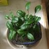 2-128   夏ミカンの種を蒔いてみた