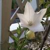 いつの間にやら!真っ白な桔梗が咲き始めました