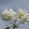秋空に映える白い芙蓉の大輪
