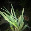 根のついたネギ.土をかけて保存しようと,ポットを空けてみると---.中にはスイセンの球根が.既に長い根っこをつけていました.秋ですね.ヒガンバナも何本か花茎を出し始めていました. / 付録 夏のネギ,主な生産地域と収穫量,栽培品種.