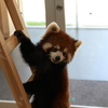 鯖江市西山動物園のレッサーパンダがかわいすぎだった