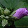 槿(むくげ)のツボミ Hibiscus syriacus