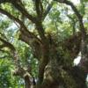 日本一の巨木、「蒲生の大クス」(鹿児島県姶良郡蒲生市)さん ♫♫♫