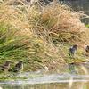 手賀沼のゴイサギ幼鳥ーホシゴイー4羽