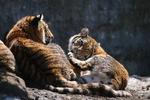 アムールトラのくつろぐ姿。まだうっすらと雪が残る旭山動物園のもうじゅう館で。