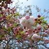 あさぎり町ー遠山桜