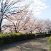 こんな時でも桜は見頃。花博の桜&チューリップと樹齢1000年の三島神社大楠