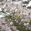 桜の花はいつ頃から準備される?