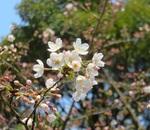 都内の桜の開花状況と靖国神社に鎮座する東京の桜の標本木を観察してみる!!