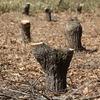 新炭林の萌芽更新 と 薪貯金