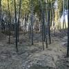 竹藪の手入れ