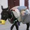 メディナ(旧市街)で働く動物