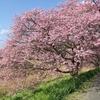 超穴場!河津桜の隠れ名所「みなみの桜」の見頃、混雑状況、アクセス【静岡・南伊豆町】