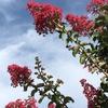 サルスベリ(百日紅)の並木道♪