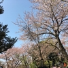 お花見行ってきました~! 桜を見ながらの映画は最高です笑
