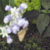 蝶がブルーサルビアにきた