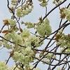 スプリントして春が駆け行く〜都立農林総合試験センターのシャクナゲ。