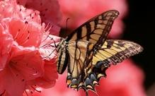 「アゲハチョウ」って英語でなんて言う?チョウはbutterflyだけど・・・【週末英単語】
