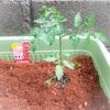 カゴメの「ちいさなももこ」×「トマトの土」でミニトマト栽培