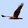 我孫子市中沼田上空を飛ぶチュウヒ