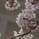 もう一度行きたい桜の名所【姫路城】