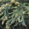 スギ花粉 平成31年春のスギ花粉飛散量はやや多い!