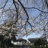 桜(三角公園)