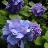 昔からある紫陽花w