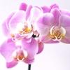 私の胡蝶蘭の育て方