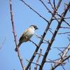 雀の求愛のさえずりがとっても賑やかです。自由猟法の話