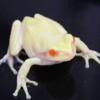 幸運を呼ぶ?!「白いカエル」ふれあい科学館で10/20まで展示中!