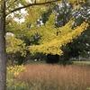 紅葉とキミガヨラン