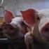 自己肯定感の低かったお菓子依存のアラフォーが、養豚に出会って変わった話。