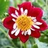 「ブチヒゲカメムシ」」が、ダリアの花に…。