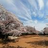 桜を見ていると、「今」に焦点を合わせられます🌸