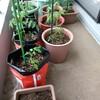 令和元年、ベランダ菜園開始
